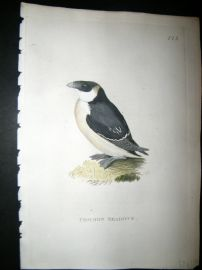 Shaw C1800's Antique Hand Col Bird Print. Common Seadove